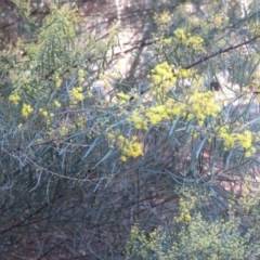 Acacia boormanii (Snowy River Wattle) at O'Connor, ACT - 2 Aug 2019 by KumikoCallaway
