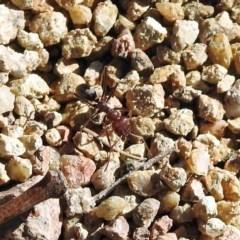 Iridomyrmex purpureus (Meat Ant) at Bullen Range - 2 Aug 2019 by RodDeb