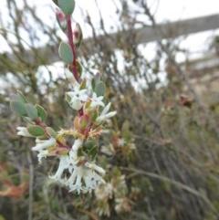Brachyloma daphnoides (Daphne Heath) at Rugosa at Yass River - 16 Oct 2016 by SenexRugosus
