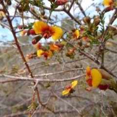 Dillwynia phylicoides (A Parrot-pea) at Rugosa at Yass River - 24 Sep 2016 by SenexRugosus