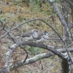 Taeniopygia bichenovii (Double-barred Finch) at Googong, NSW - 2 Aug 2019 by Wandiyali