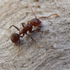 Notoncus gilberti (Smooth Epaulet Ant) at ANBG - 2 Aug 2019 by Christine