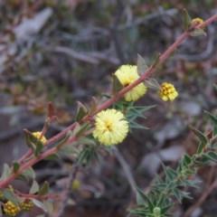 Acacia gunnii (Ploughshare Wattle) at Stony Creek Nature Reserve - 2 Aug 2019 by KumikoCallaway