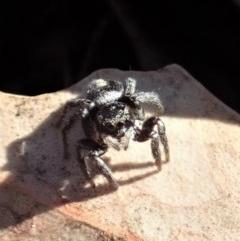 Salpesia sp. (genus) (Salpesia Jumping Spider) at Mount Painter - 2 Aug 2019 by CathB