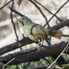Ptilonorhynchus violaceus (Satin Bowerbird) at Macgregor, ACT - 30 Jul 2019 by Alison Milton