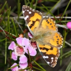 Vanessa kershawi (Australian Painted Lady) at ANBG - 2 Aug 2019 by TimL
