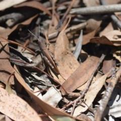 Goniaea opomaloides (Mimetic Gumleaf Grasshopper) at Wamboin, NSW - 13 Feb 2019 by natureguy