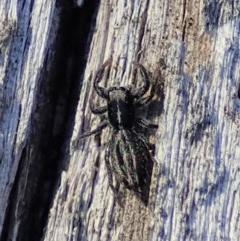 Holoplatys sp. (genus) (Unidentified Holoplatys jumping spider) at Aranda Bushland - 31 Jul 2019 by CathB