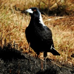 Cracticus tibicen (Australian Magpie) at Brogo, NSW - 2 Aug 2019 by MaxCampbell
