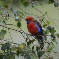 Platycercus elegans (Crimson Rosella) at Penrose - 12 Jan 2015 by NigeHartley