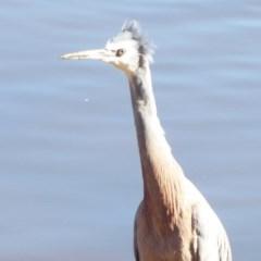 Egretta novaehollandiae (White-faced Heron) at Jerrabomberra Wetlands - 19 Jul 2019 by Christine