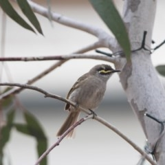 Caligavis chrysops (Yellow-faced Honeyeater) at Penrose - 7 Oct 2018 by NigeHartley