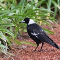 Gymnorhina tibicen (Australian Magpie) at - 7 Oct 2018 by NigeHartley