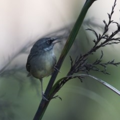 Sericornis frontalis (White-browed Scrubwren) at Penrose - 9 Mar 2019 by NigeHartley