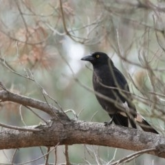 Strepera graculina (Pied Currawong) at Penrose - 7 Oct 2018 by NigeHartley