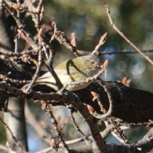 Smicrornis brevirostris at Red Hill Nature Reserve - 28 Jul 2019