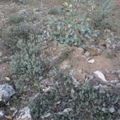Melichrus urceolatus at Red Hill Nature Reserve - 28 Jul 2019