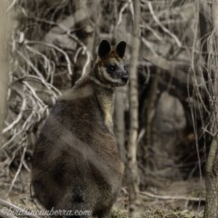 Wallabia bicolor (Swamp Wallaby) at Red Hill Nature Reserve - 26 Jul 2019 by BIrdsinCanberra