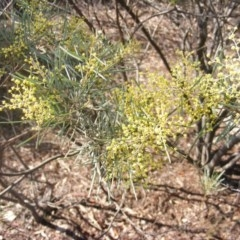 Acacia boormanii (Snowy River Wattle) at Hall, ACT - 2 Aug 2019 by MichaelMulvaney