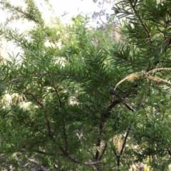 Grevillea juniperina subsp. sulphurea at - 4 Aug 2019 by KarenG