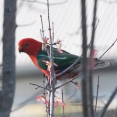 Alisterus scapularis (Australian King-Parrot) at Penrose - 18 Oct 2018 by NigeHartley