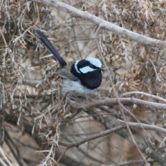 Malurus cyaneus (Superb Fairywren) at Penrose - 30 Nov 2018 by NigeHartley