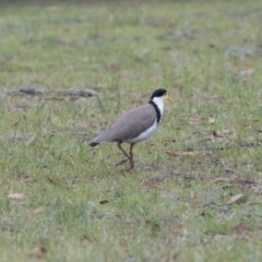 Vanellus miles (Masked Lapwing) at Penrose - 5 Dec 2018 by NigeHartley