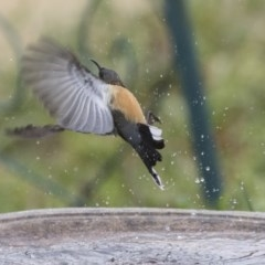 Acanthorhynchus tenuirostris (Eastern Spinebill) at Higgins, ACT - 4 Aug 2019 by Alison Milton