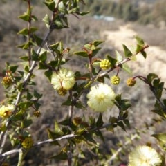 Acacia gunnii (Ploughshare Wattle) at Rugosa at Yass River - 4 Aug 2019 by SenexRugosus