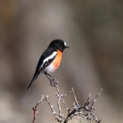Petroica boodang (Scarlet Robin) at Namadgi National Park - 1 Aug 2019 by jbromilow50