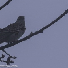 Colluricincla harmonica (Grey Shrike-thrush) at Red Hill Nature Reserve - 2 Aug 2019 by BIrdsinCanberra