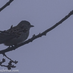 Colluricincla harmonica at Red Hill Nature Reserve - 3 Aug 2019