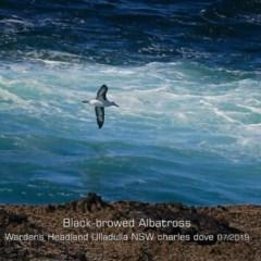 Diomedea melanophris (Black-browed Albatross) at Ulladulla, NSW - 29 Jul 2019 by Charles Dove