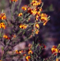 Dillwynia sericea (Egg and Bacon Peas) at Gungaderra Grasslands - 20 Nov 2004 by michaelb