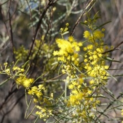 Acacia boormanii (Snowy River Wattle) at Hughes Grassy Woodland - 5 Aug 2019 by JackyF