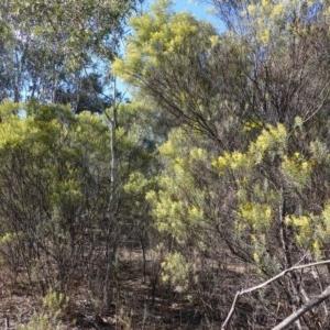 Acacia boormanii at Hughes Grassy Woodland - 5 Aug 2019