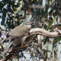 Colluricincla harmonica (Grey Shrike-thrush) at Red Hill Nature Reserve - 7 Aug 2019 by JackyF