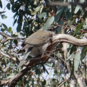 Colluricincla harmonica at Red Hill Nature Reserve - 7 Aug 2019