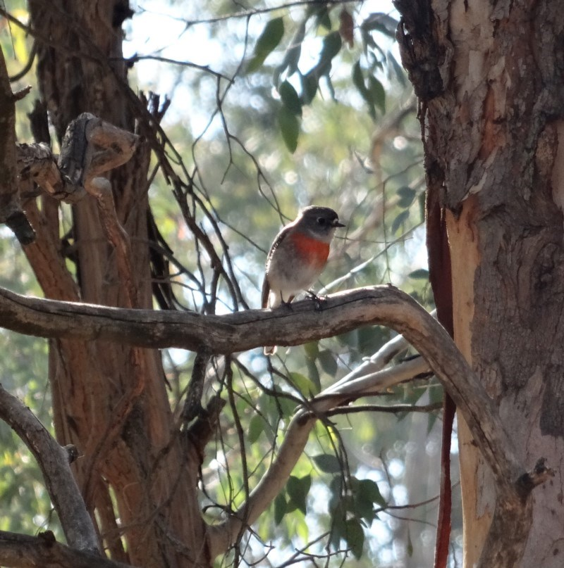 Petroica boodang at Red Hill Nature Reserve - 7 Aug 2019