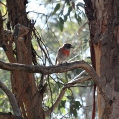 Petroica boodang (Scarlet Robin) at Red Hill Nature Reserve - 7 Aug 2019 by LisaH