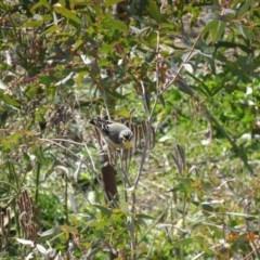 Pardalotus striatus (Striated Pardalote) at Point Hut to Tharwa - 7 Aug 2019 by TomT