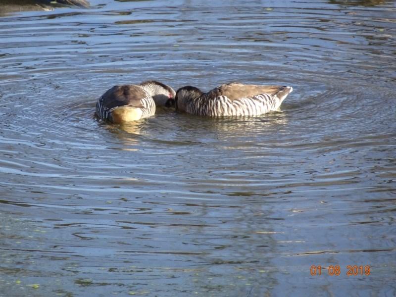 Malacorhynchus membranaceus at Jerrabomberra Wetlands - 1 Aug 2019