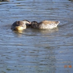 Malacorhynchus membranaceus (Pink-eared Duck) at Jerrabomberra Wetlands - 1 Aug 2019 by TomT