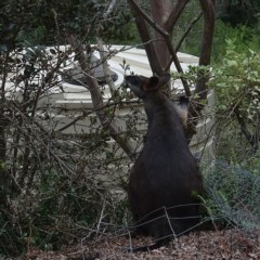Wallabia bicolor (Swamp Wallaby) at Brogo, NSW - 7 Aug 2019 by JackieMiles