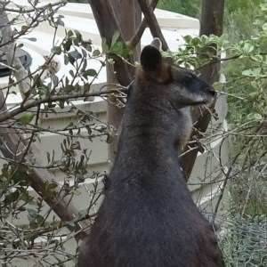 Wallabia bicolor at Brogo, NSW - 7 Aug 2019