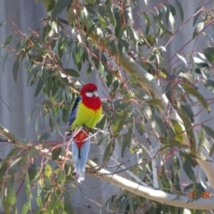 Platycercus eximius (Eastern Rosella) at Deakin, ACT - 1 Aug 2019 by TomT