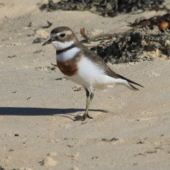 Charadrius bicinctus (Double-banded Plover) at Wairo Beach and Dolphin Point - 7 Aug 2019 by CBrandis