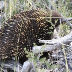 Tachyglossus aculeatus (Short-beaked Echidna) at Wairo Beach and Dolphin Point - 7 Aug 2019 by CBrandis