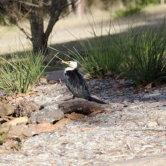 Microcarbo melanoleucos (Little Pied Cormorant) at Penrose - 19 Jun 2012 by NigeHartley