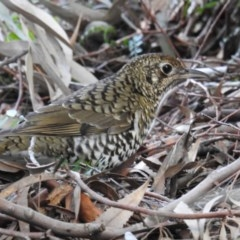 Zoothera lunulata (Bassian Thrush) at ANBG - 6 Aug 2019 by HelenCross